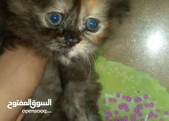 قطط شيرازي وبيكي فيس