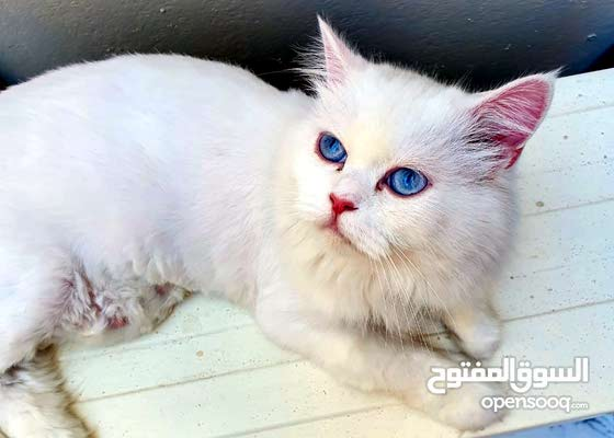 Female Persian 18 months old