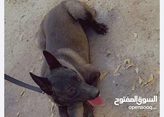 كلب ذكر مالينوا بيور العمر سنه وثمان شهور تقريبا ماخذ كل التطعيمات. ومدرب طاعه