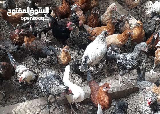 دجاج بلدي للبيع نظيف ممتاز للاكل و تربيه