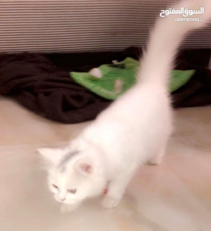 قطة شيرازية بالرياض