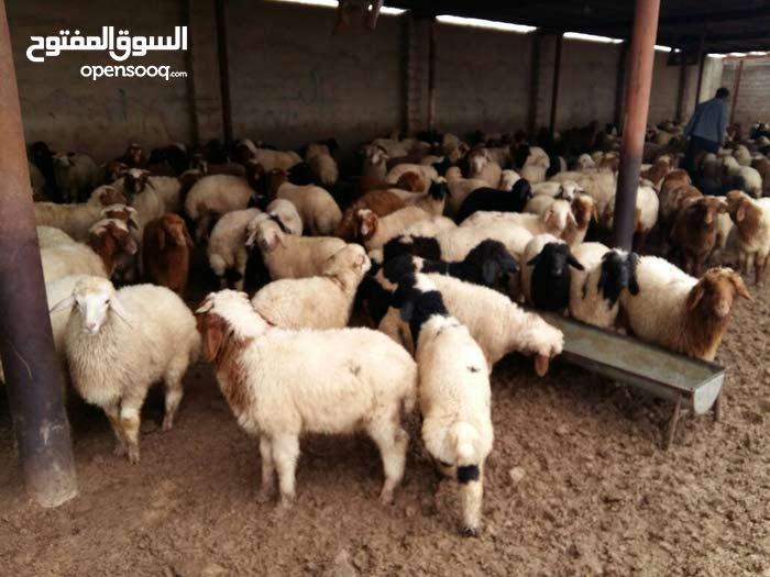 تصدير اغنام خرفان من ايران