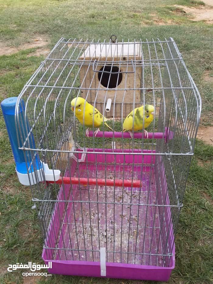كوبية عصافير امصوقرة انجليزي