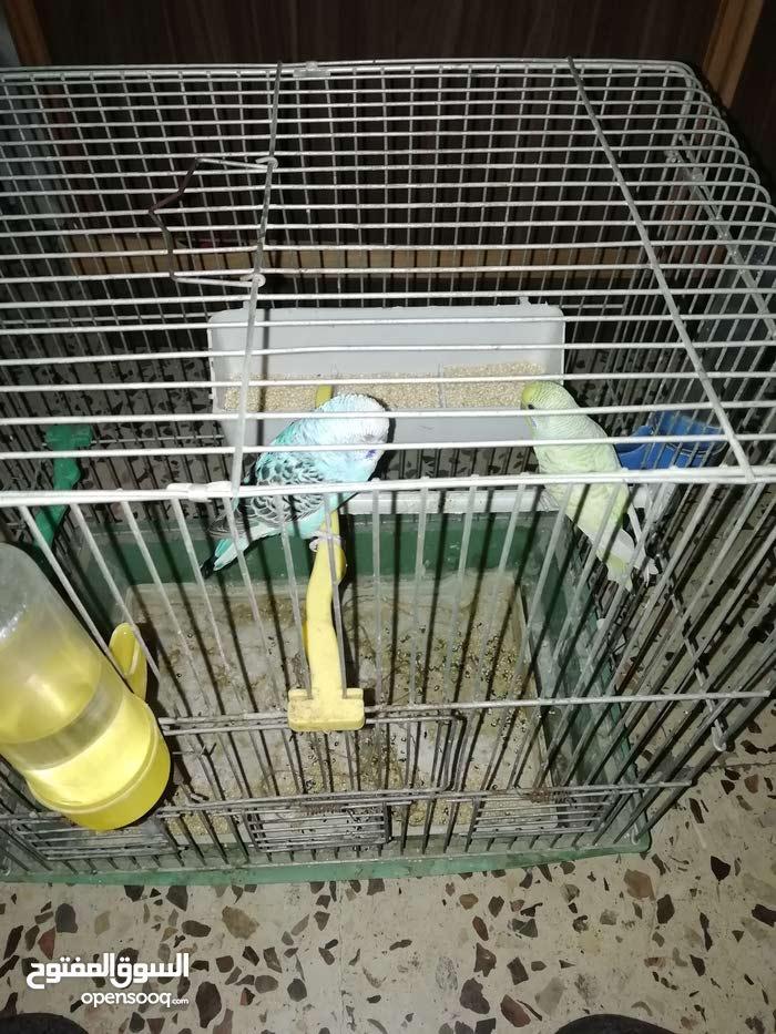 جوز طيور  حب للبيع مع 5 معلف 1 كبير مع القفص مشىربين ماء مع كوخ مع الطعام