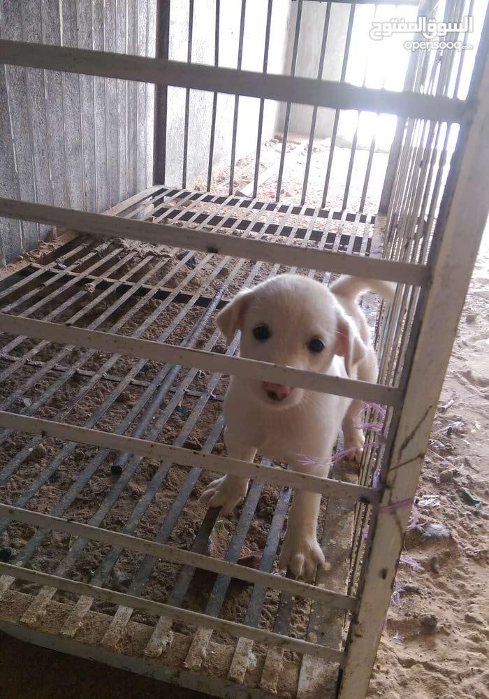 كلب هجين لولو