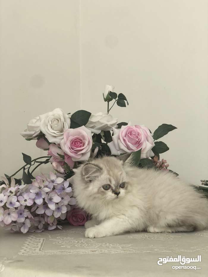 قطة انثى راقدول للبيع
