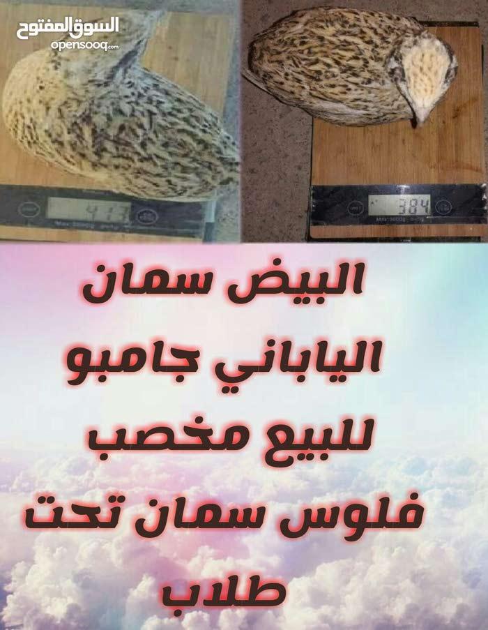 بيض مخصب سمان جامبو للبيع في المغرب مكين مراكش