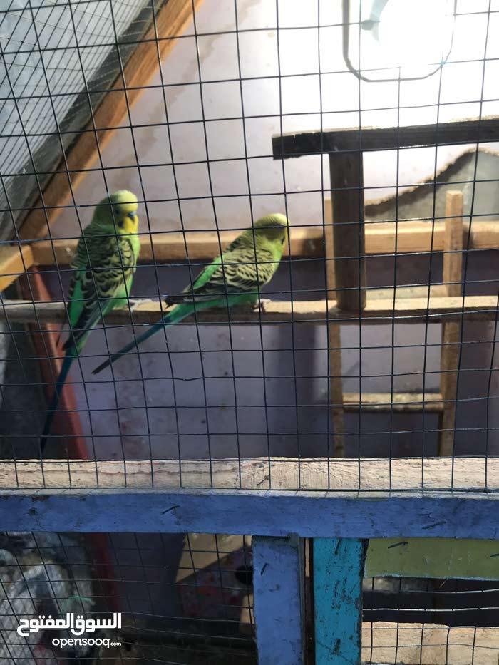 طيور حب مع قفص