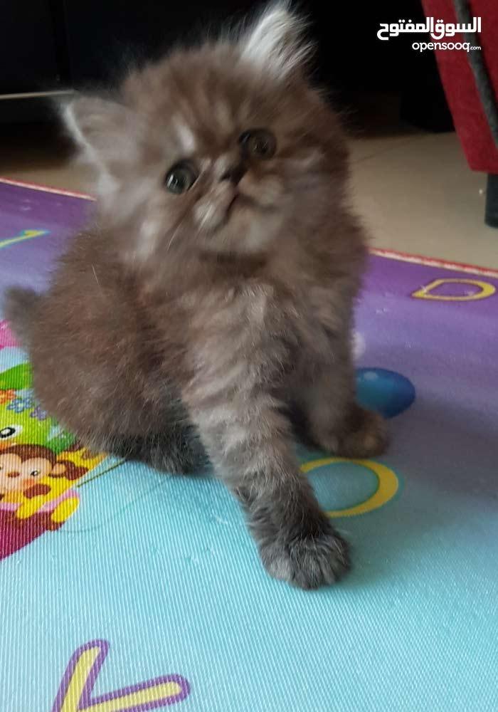 قطط هاف بيكي فيس