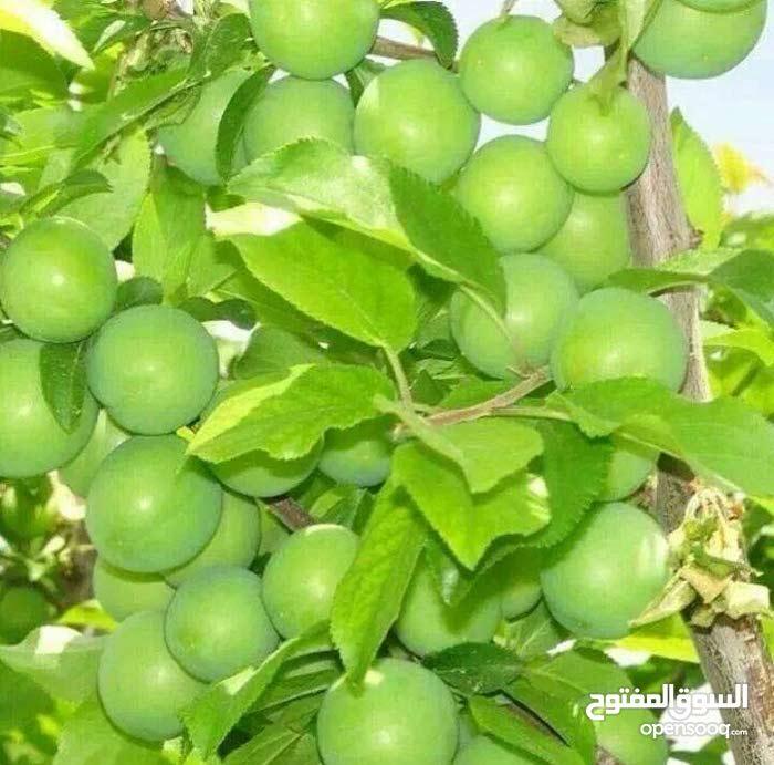 مشتل انتاج نباتات و أشجار زينة للبيع أو المشاركة