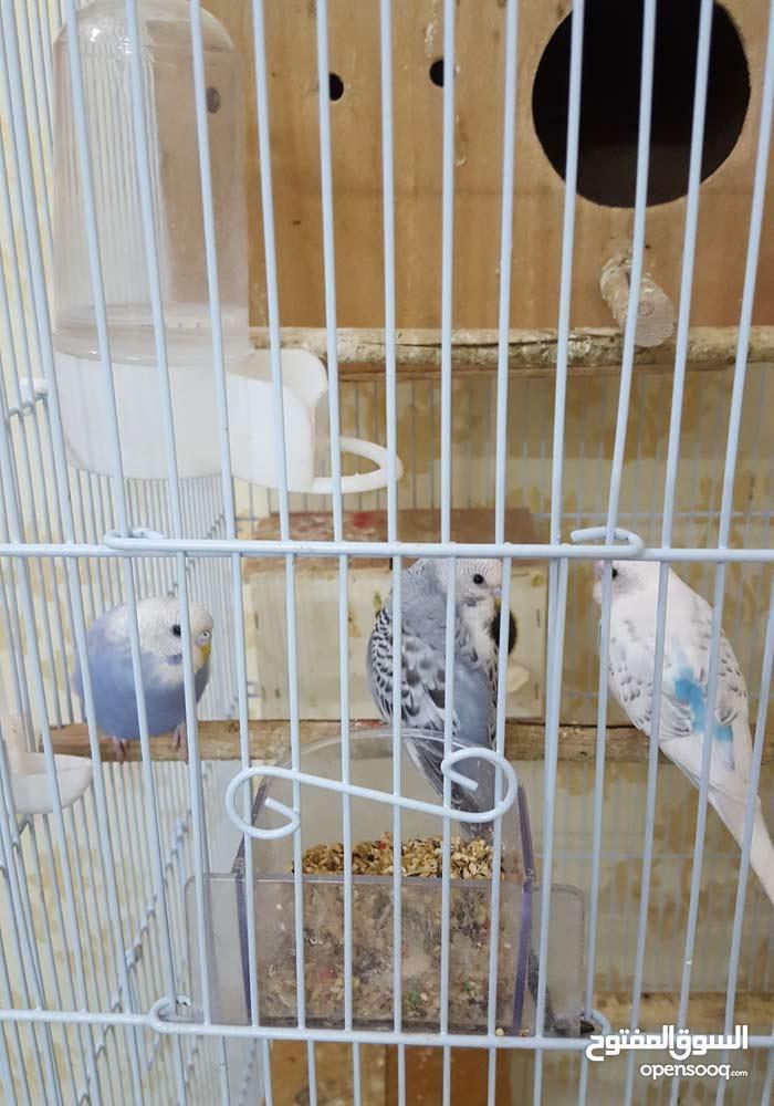 عصافير بادجي عدد 13 عصفور و عصفورة مع قفص كبير