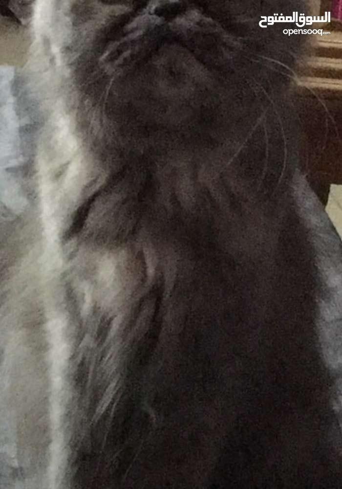 قطه انثى هاڤ بيكي على 1200منتجه