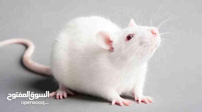 فئران مايس ورات