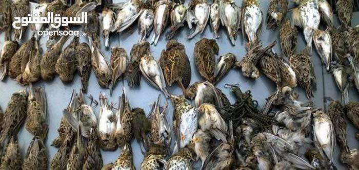 طيور مهاجره.للبيع بغرض الاكل