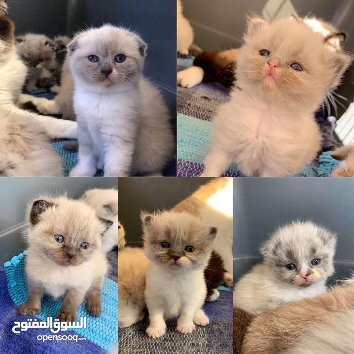 Ragdoll Mix Snowshoe Cats For Sale 106147820 Opensooq