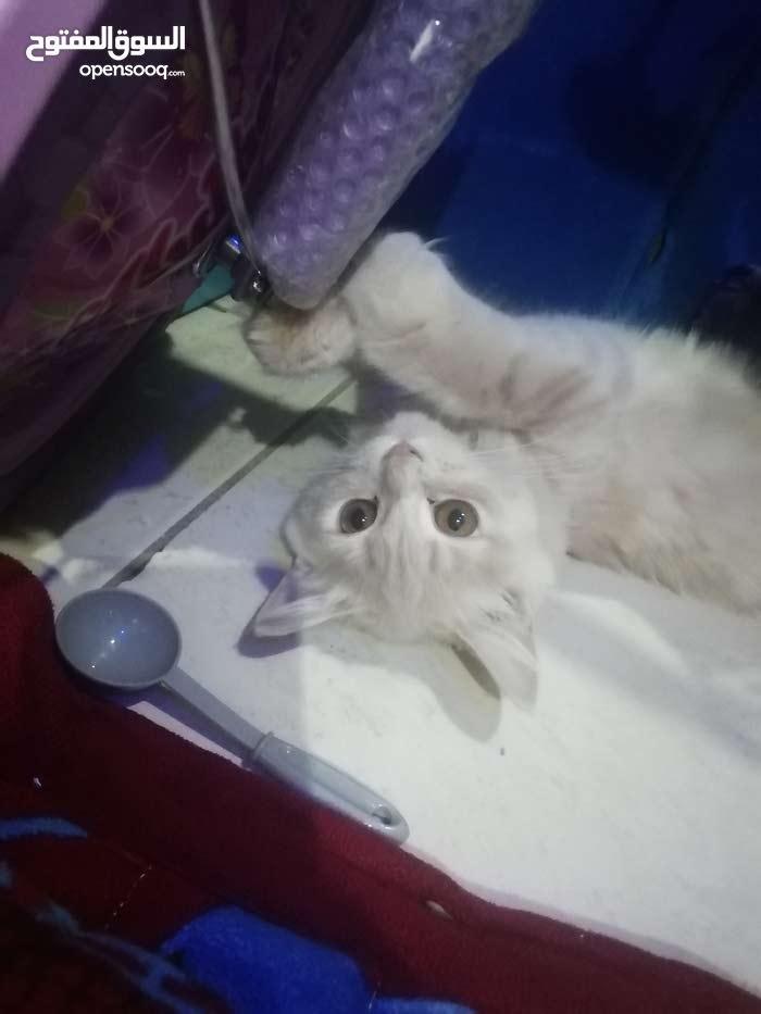 قطة شيرازيه لعوبه