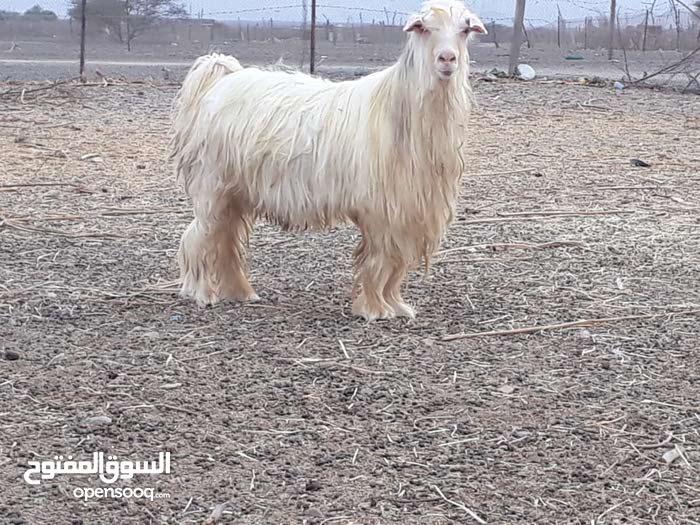 تيس من حلال الرحوب فحل راهي ابهص 250