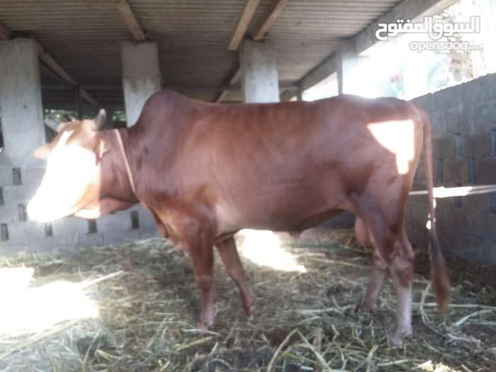 ثور عماني اصيل سمين ما شاء الله وراهي