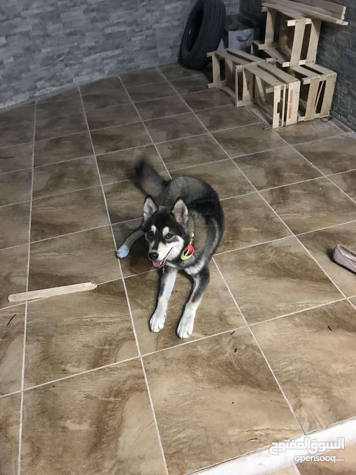 كلب الاسكا