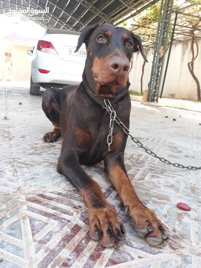 كلب دوبر مان الماني للبيع انثى