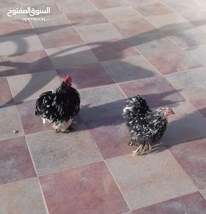 دجاج باندا للبيع