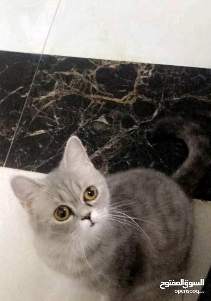 قطط شيرازيات وسكوتش فقط العين