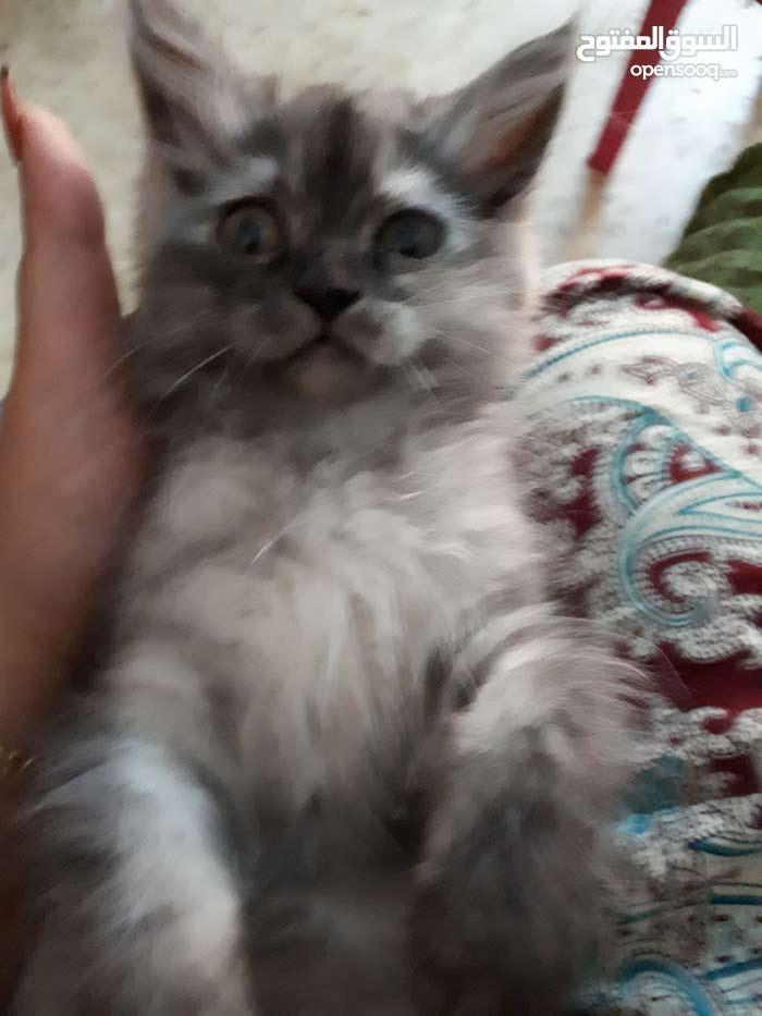 قطط شنشيلا للبيع