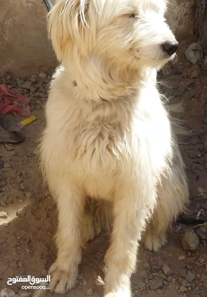 كلب زينة جريفون فرنسي قمة الروعه
