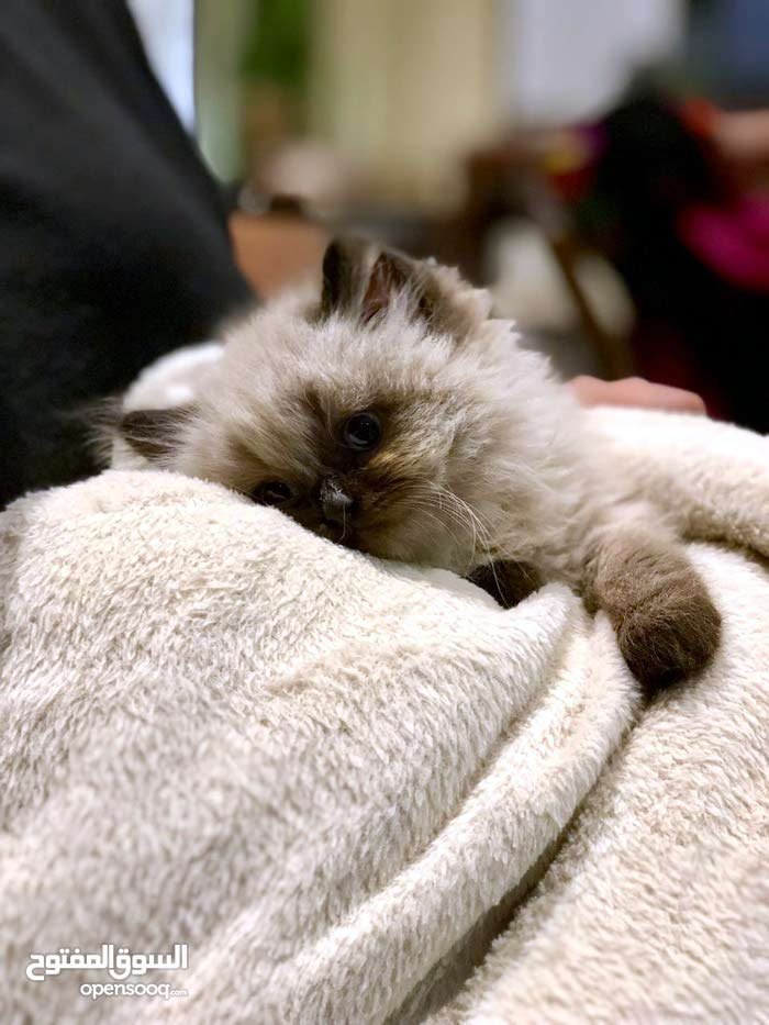 55 days old ragdoll kittens looking for new family