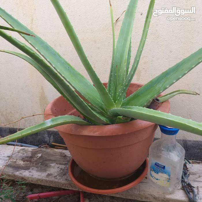 للبيع نبات الصبار