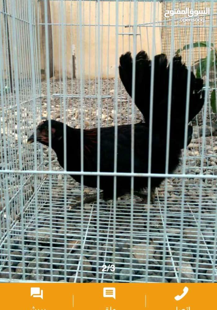 دجاج حباحب للبيع