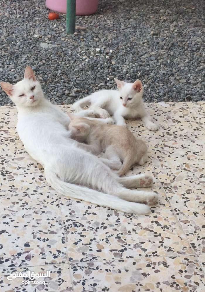 قطط شيرازيه بسعر مناسب للبيع