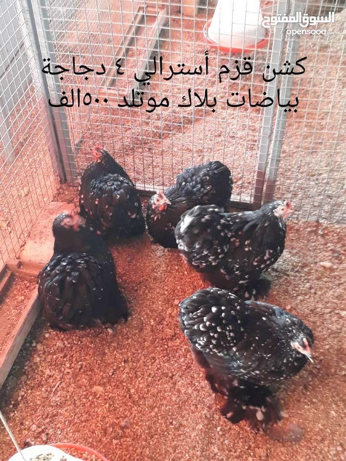 دجاج للبيع كلمن وسعره التفاصيل داخل الصور