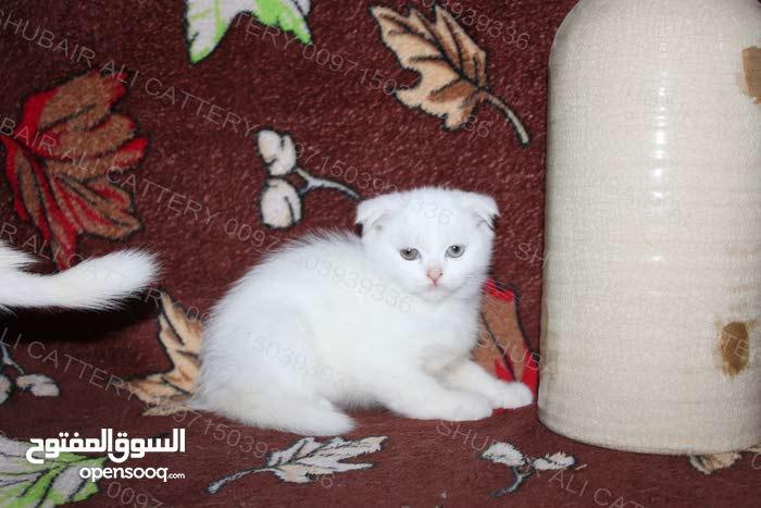 Scottish kittens for sale