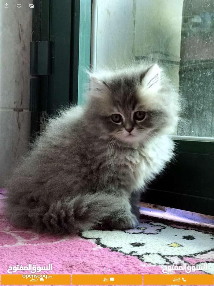 قطه شيرازب للبيع