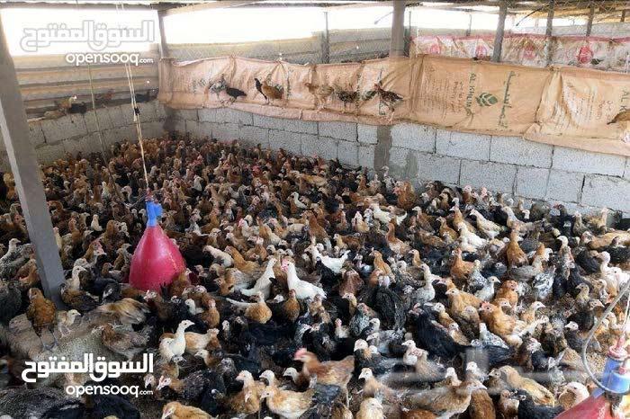 دجاج عماني ألحق الكمية محدودة السعر 500 للجملة والحبة