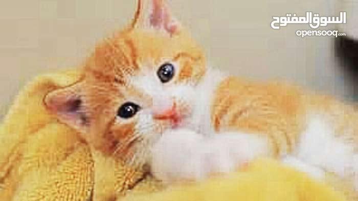 قطط شيرازي مكس تركي العمر 40 يوم