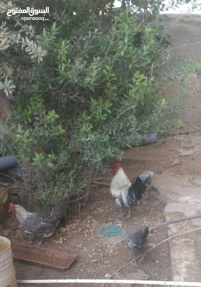 2 دجاجه   وديك  فيومي