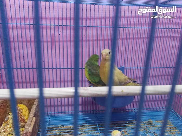 طيور زوج امرانكيت