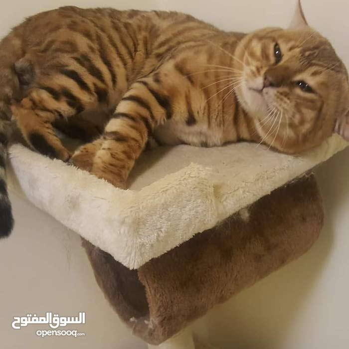 قطط بنجال بيور ذكور واناث 550 درهم فقط