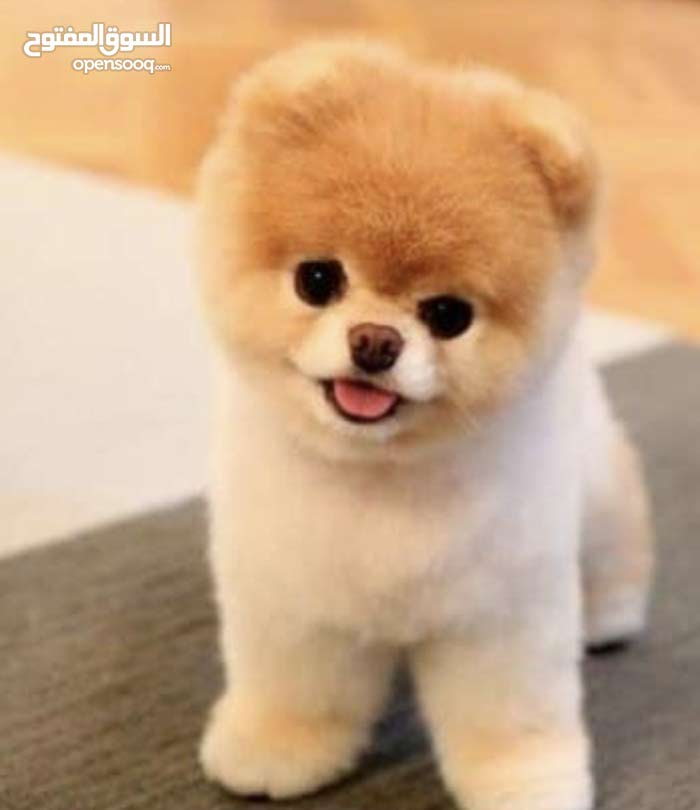 I want Pomeranian dog