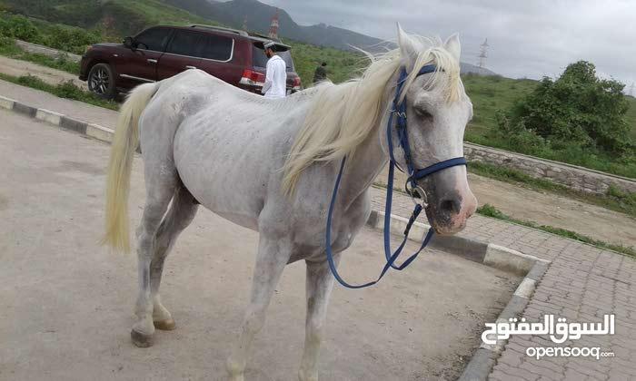حصان عربي مخصي