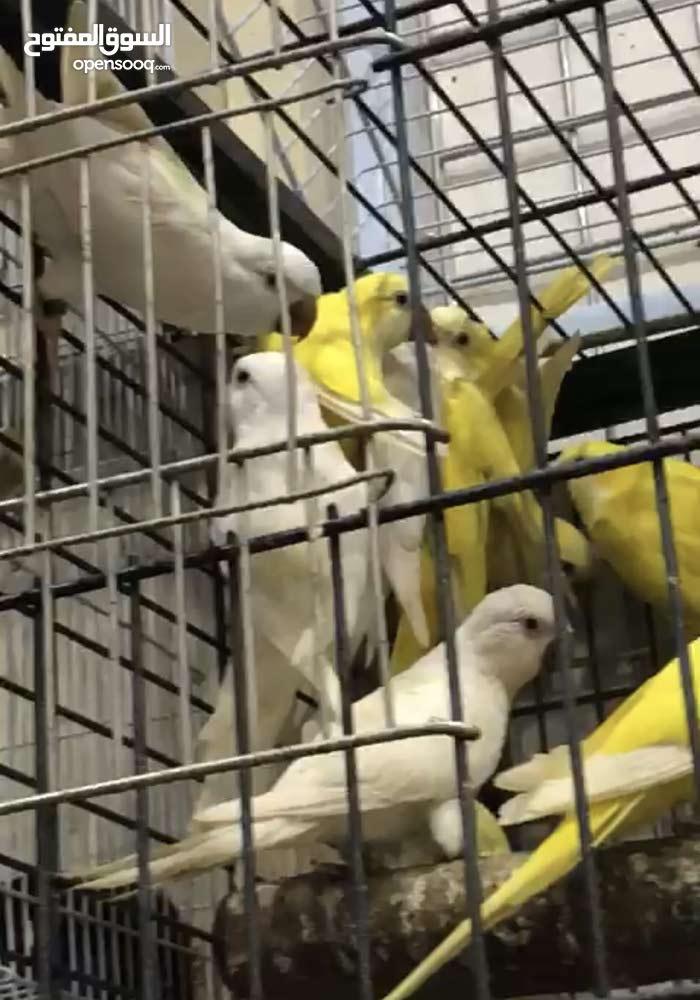 تصدير جميع انواع الطيور من الكويت الى الامارات مطار دبي