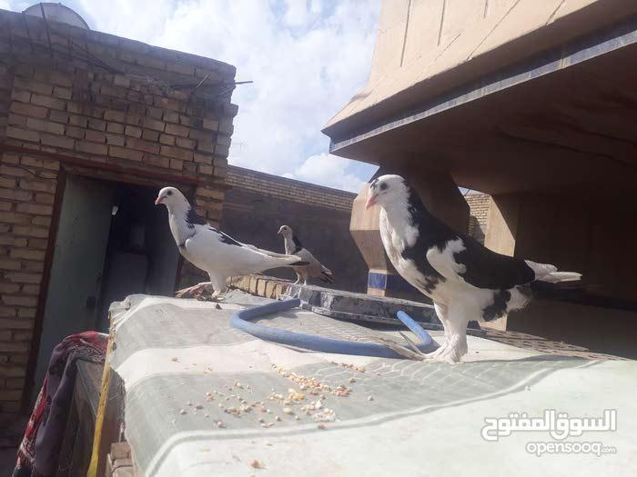 حمام نفاخ البيع مال بيت نضيفات