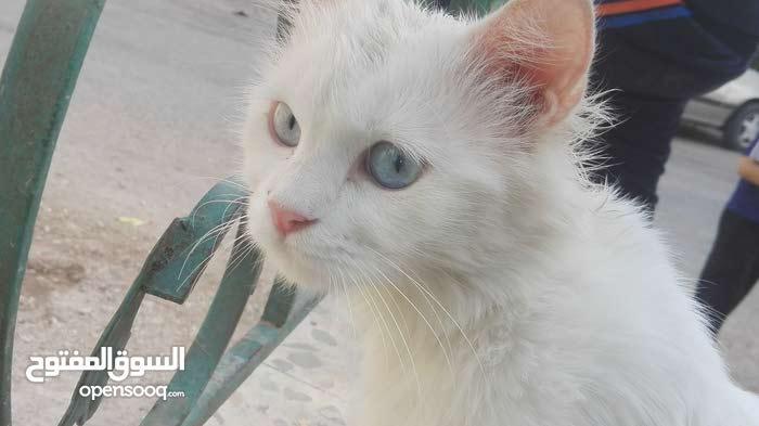 قط شيرازي عيون زرق شعر طويل
