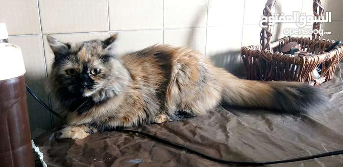 قطة انثى شيرازي اصلي للتزاوج باسرع وقت .. لانها قززتني