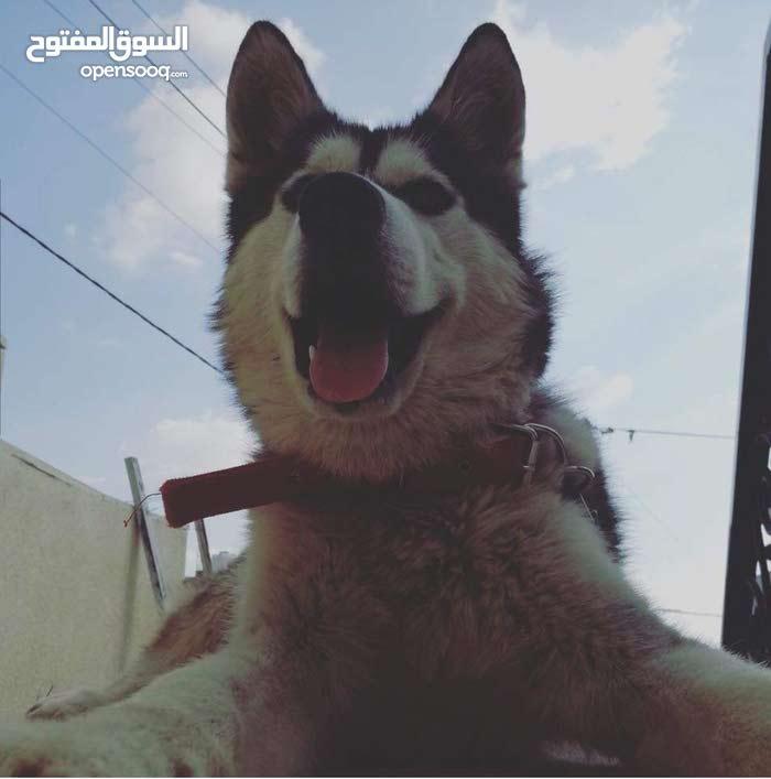 كلب هاسكي بيور عمر 8شهور اخذ كل المطاعيم للبيع او البدل على طيور كش للاستفسار 07