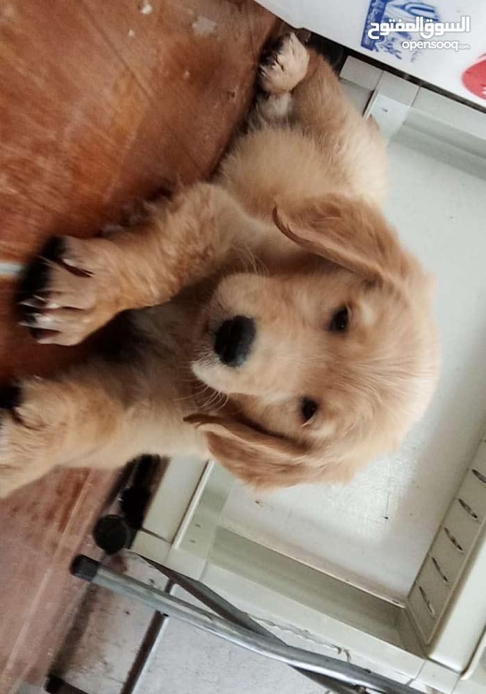 كلب جولدن ذكر اربع شهور