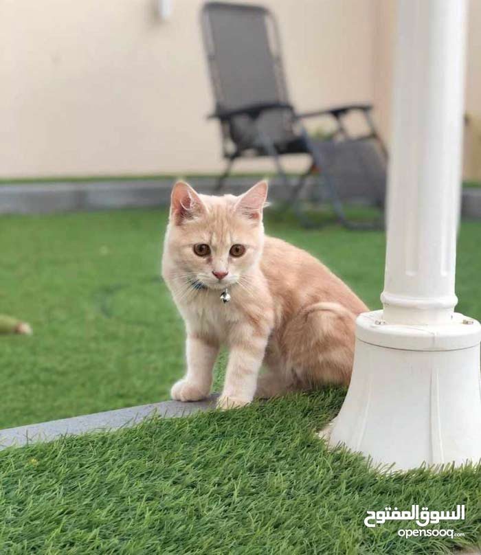 turku sweet cat 7 month for sale