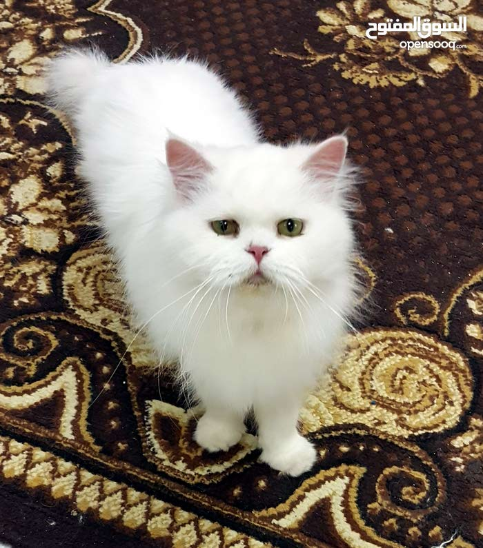 قطط شيرازية بيور للإنتاج